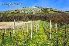 Fotografie Gig_4200338, Réva vinná, Vitis vinifera