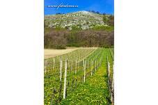 Fotografie Gig_4200339, Réva vinná, Vitis vinifera