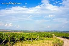 Fotografie Gig_4037400, Réva vinná, Vitis vinifera