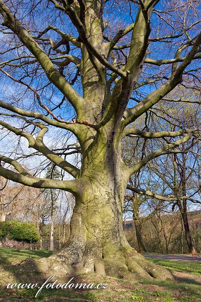 Fotografie Gig_4041273, Buk lesní