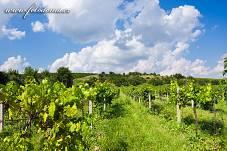 Fotografie Gig_4037363, Réva vinná, Vitis vinifera