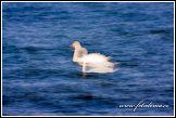 Labutě plující u německého pobřeží Baltu