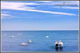 Labutě v Baltském moři
