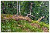 Prales v národním parku Jasmund, Německo