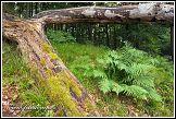 Kapradiny v národním parku Jasmund