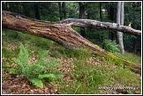 Kapradí v národním parku Jasmund v Německu