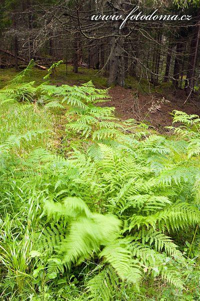 Lesní kapradiny v národním parku Tiveden, Švédsko