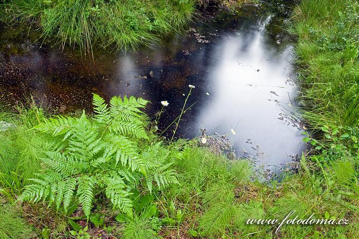 Lesní kapradiny a přesličky u tůňky v národním parku Tiveden, Švédsko