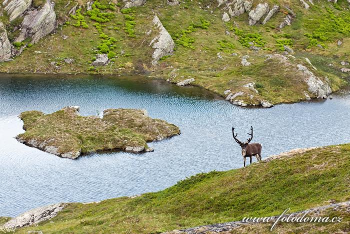 Sob v krajině u jezera Eldbekkskardvatnet, Národní park Blåfjella-Skjækerfjella, Norsko