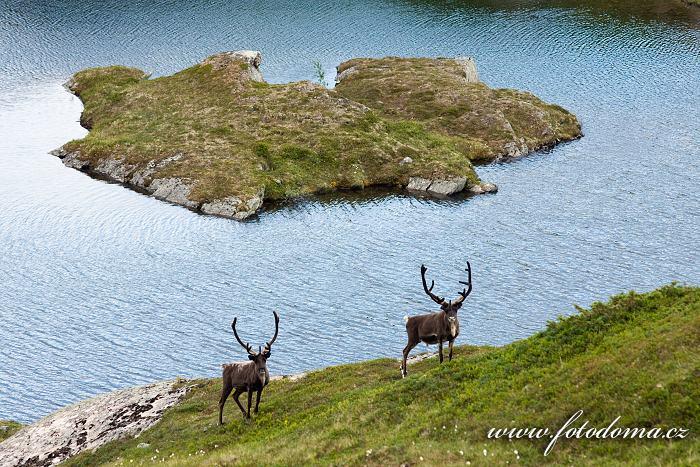 Sobi v krajině u jezera Eldbekkskardvatnet, Národní park Blåfjella-Skjækerfjella, Norsko