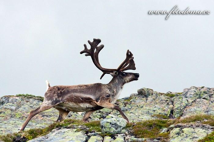 Sob polární, Národní park Blåfjella-Skjækerfjella, Norsko