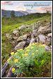 Rozchodník v údolí Blakkådal. Národní park Saltfjellet-Svartisen, kraj Nordland, Norsko