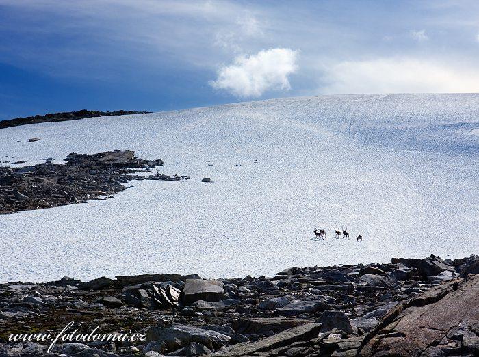Skupina sobů na sněhovém poli u jezera Røvassvatnan. Národní park Saltfjellet-Svartisen, kraj Nordland, Norsko