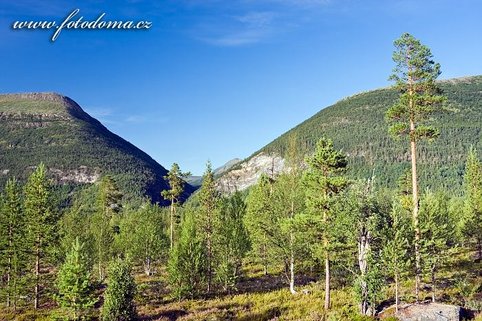Bjørklund v údolí Junkerdalen, národní park Junkerdal, kraj Nordland, Norsko