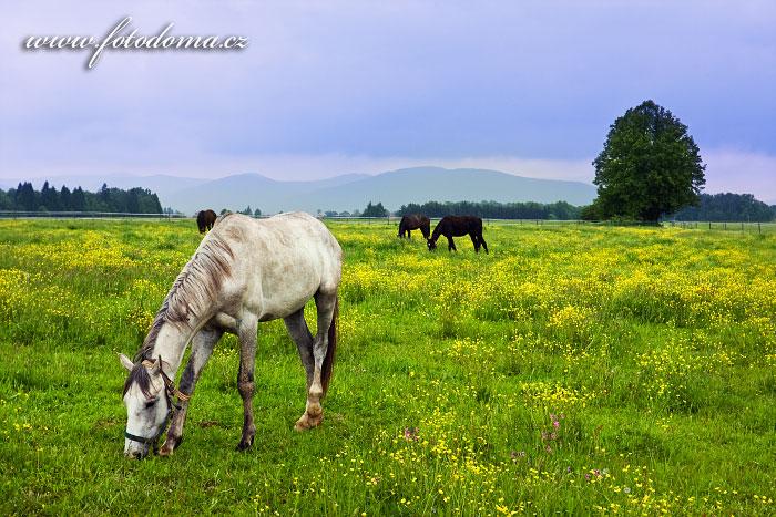 Koně, Lučina