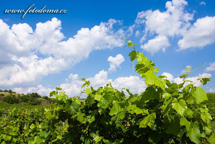 Réva vinná - Vitis vinifera
