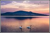 Labuť velká - Cygnus olor a Pálava