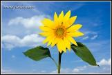 Slunečnice roční - Helianthus annuus