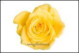 Květ žluté růže na bílém pozadí