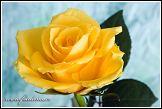Květ žluté růže