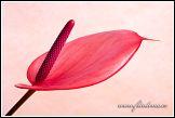 Květ Anthurie