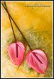 Květy anthurií