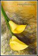 Květy kaly