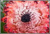 Květ protey