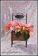 Poinsetie, vánoční růže (Euphorbia pulcherrima, Poinsettia pulcherrima)