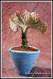 Roubovaný pryšec v květináči (Euphorbia)