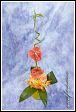 Květinové aranžmá s orchidejemi a anthuriemi