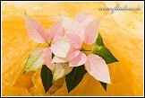 Poinsettie, vánoční růže