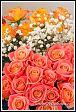 Květy růží