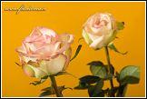 Květy dvou růží