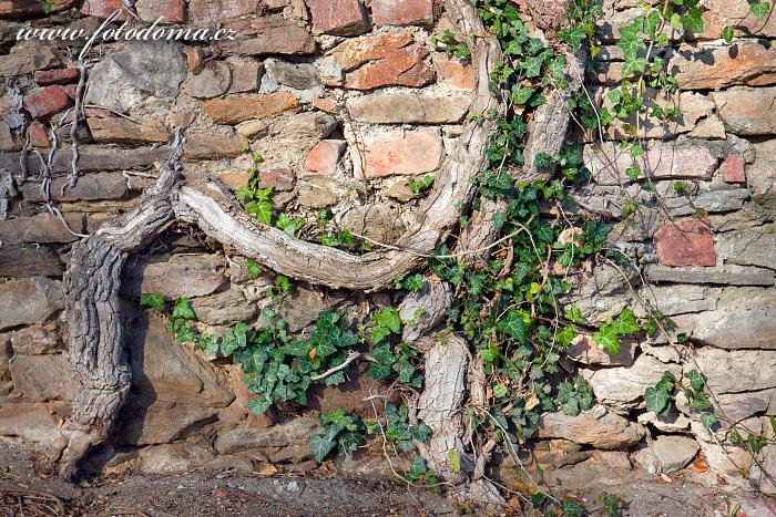 Břečťan u zámecké zdi, Lomnice