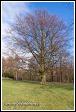Červený buk (Fagus sylvatica var. Atropurpurea) v zámeckém parku, Lomnice