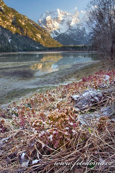 Devětsil lékařský (Petasites hybridus, Tussilago hybrida) u jezera Lago di Landro (Durrensee), Dolomity, Itálie