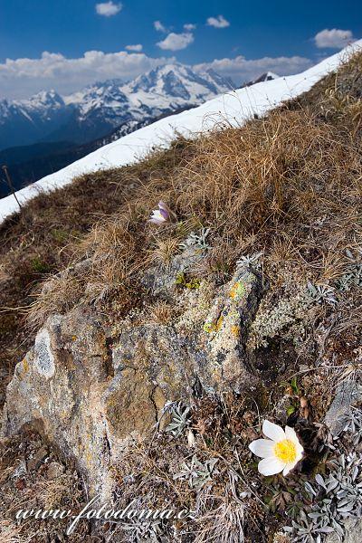 Koniklec jarní na Creste de Zonia, Dolomity