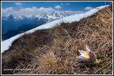 Koniklec jarní na vršku Creste de Zonia, Dolomity