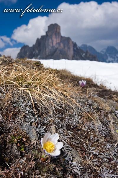 Koniklec jarní na temeni Creste de Zonia, Dolomity