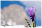 Šafrán bělokvětý v Passo Giau, Dolomity
