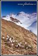 Krokusy (Crocus albiflorus), hory Averau a Croda Negra, Dolomity