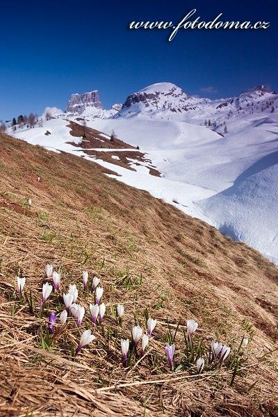 Šafrán bělokvětý (Crocus albiflorus), hory Averau a Croda Negra, Dolomity