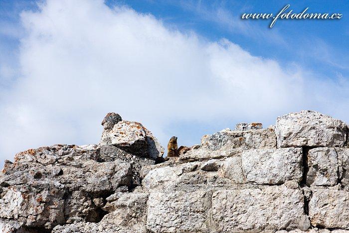 Svišť na pevnosti Forte Tre Sassi, vojenské museum, u Passo di Valparola, Dolomity