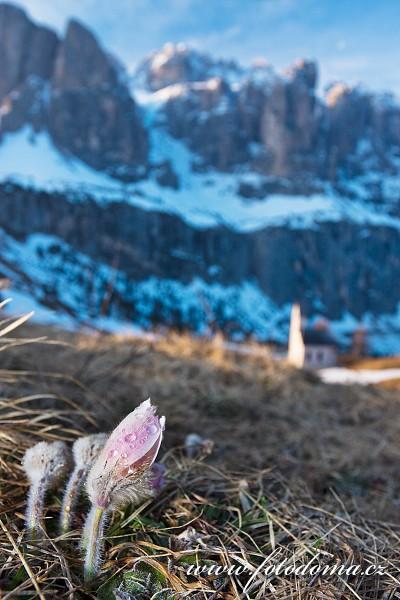 Koniklec jarní (Pulsatilla vernalis, Anemone vernalis) nad Passo Gardena (Grödner Joch), Dolomity