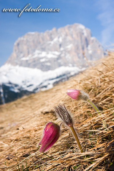 Koniklec jarní (Pulsatilla vernalis, Anemone vernalis), nad Passo Gardena (Grödner Joch), Dolomity