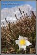 Koniklec jarní (Pulsatilla vernalis, Anemone vernalis) v Passo Gardena, Dolomity