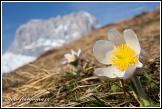 Koniklec jarní (Pulsatilla vernalis, Anemone vernalis) a Sasso Lungo (Langkofel), Dolomity