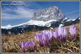 Šafrán bělokvětý (Crocus albiflorus) a Sasso Lungo (Langkofel), Dolomity
