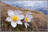 Koniklec jarní (Pulsatilla vernalis, Anemone vernalis) na Plan da Cuzin, Dolomity